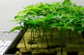 Aug. 10, 2016 - Clone cannabis plants grow in a nursery room at Cresco Labs indoor medical cannabis cultivation center in Joliet, IL. (Photo credit: Emily Gray Brosious/Extract)