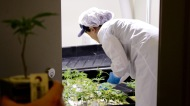 Aug. 10, 2016 - Growers transplant clone cannabis plants at Cresco Labs indoor medical cannabis grow center in Joliet, IL. (Photo credit: Emily Gray Brosious/Extract)