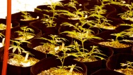 Aug. 10, 2016 - Cannabis grows at Cresco Labs indoor medical cannabis grow center in Joliet, IL. (Photo credit: Emily Gray Brosious/Extract)